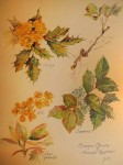 "Honorable Mention ""Oregon Grape - Mahonia Repens"" watercolor by Jean Krueger"