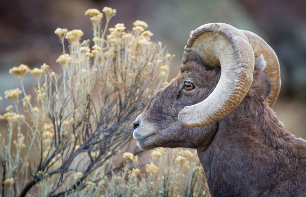 Big Horn Sheep,Canyon by Greg Smith